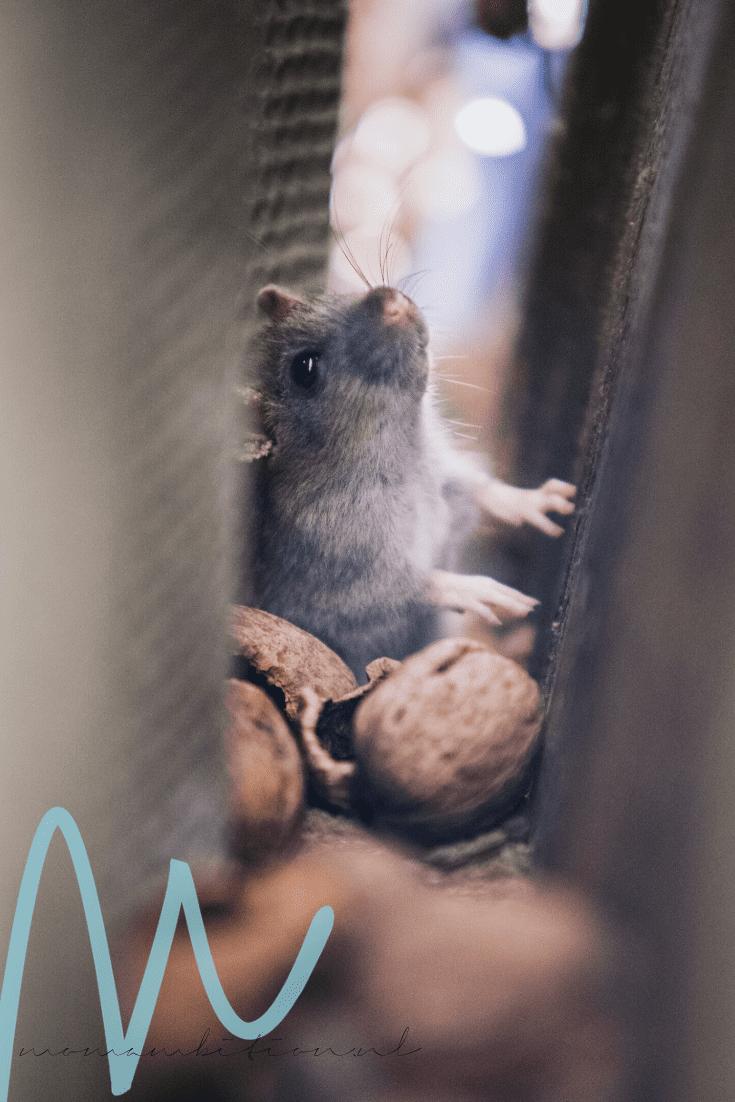 Help! Niet één muis maar een muizenplaag in huis! muizen bestrijden ongedierte